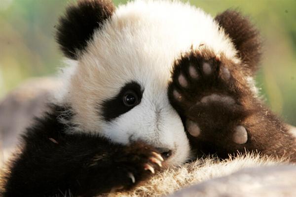 成年熊猫步骤图片